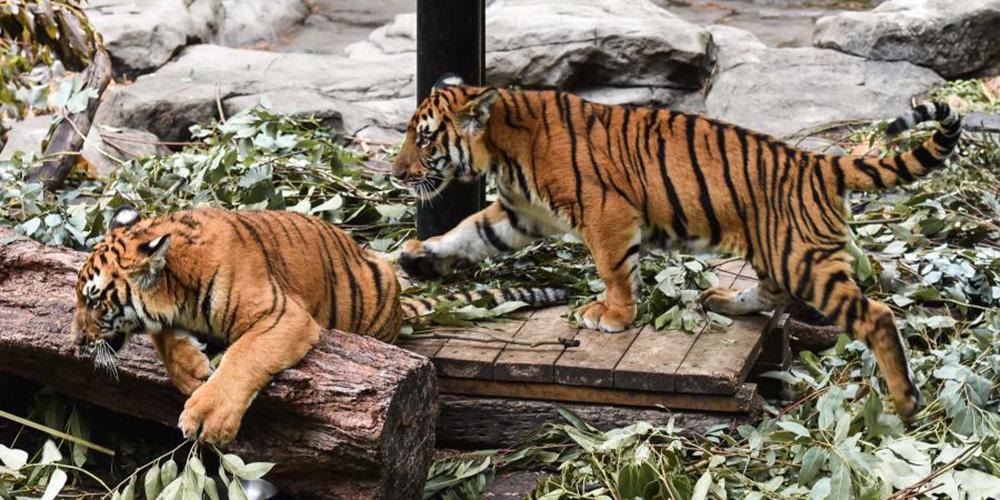 Fotos: gêmeos de tigre-do-sul-da-China em zoológico em Guangzhou
