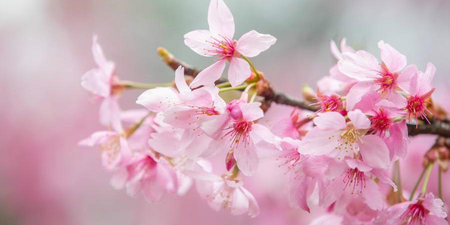 Parque de flores de cerejeira em Wuhan abre ao público