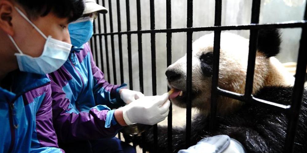 Zoológico de Shanghai realiza exame médico de rotina em pandas-gigantes