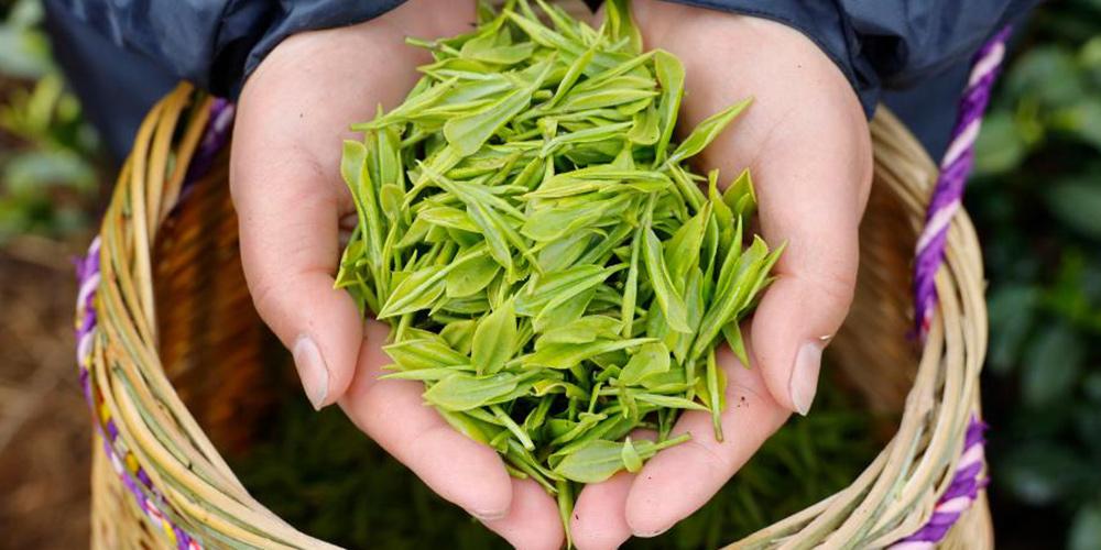 Agricultores colhem folhas de chá em plantação em Zhejiang