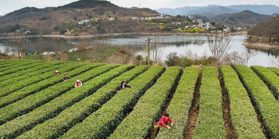 Agricultores colhem folhas de chá em Shaanxi