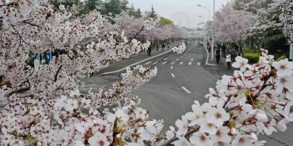 Cerejeiras em flor da cidade de Huai'an, província de Jiangsu