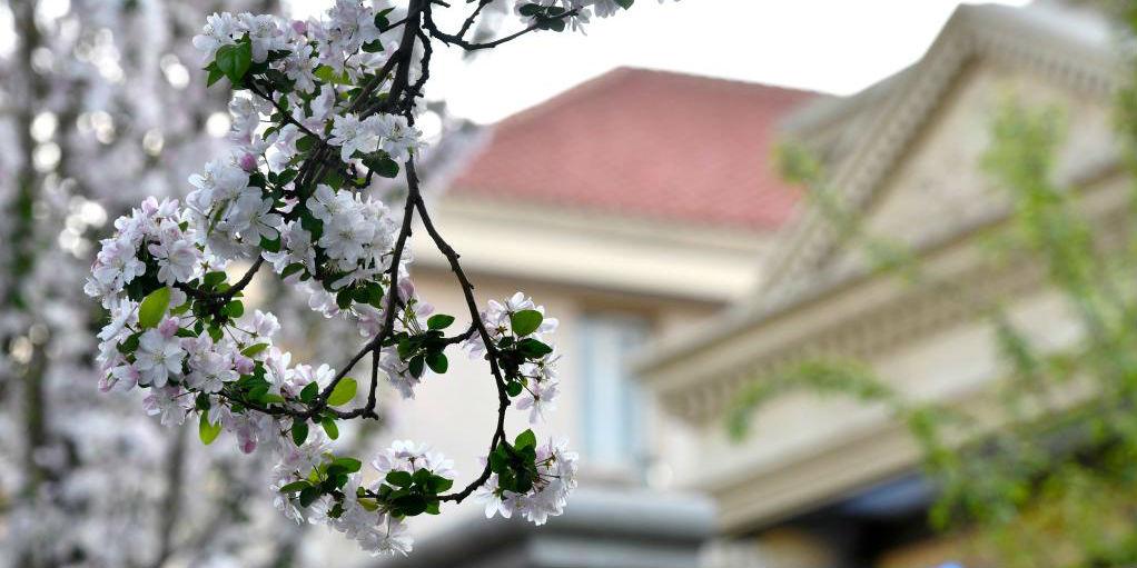 Paisagem de floridas macieiras silvestres chinesas em Tianjin
