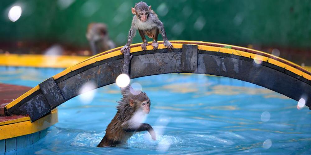 Macacos se divertem na Ilhota Nanwan em Hainan